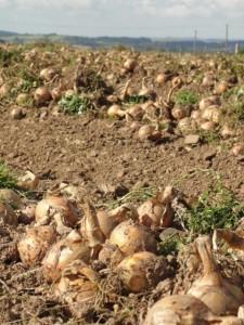onionslayingonground